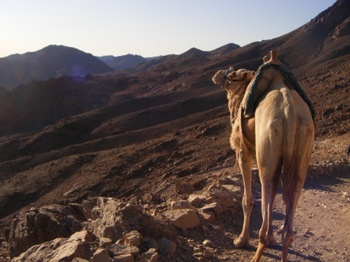 A camel admiring the view during the descent from Mount Sinai.