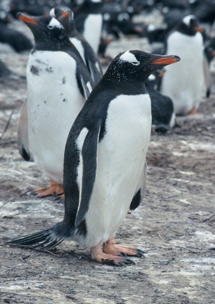 A penguin on the nesting site on Bertha's Beach in the Falkland Islands.