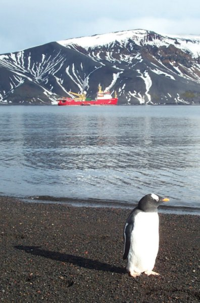 A Gentoo penguin with our ship and cargo tender in the background in the caldera on Deception Island.