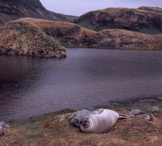 An Elephant Seal at Myviken on South Georgia.