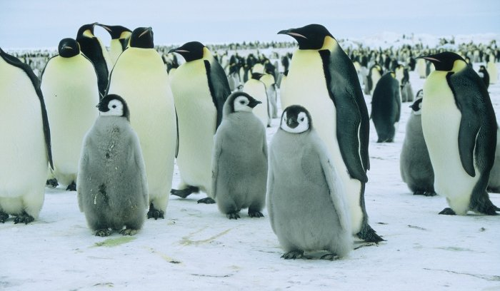 Emperor penguins and chicks at Windy.