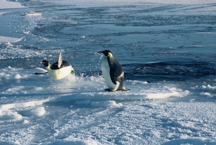 Emperor penguins leaping onto the sea-ice after feeding at sea for several months in September.