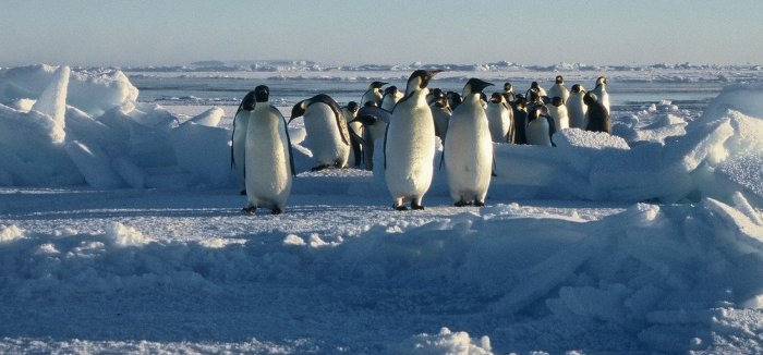 Emperor penguins finding their way through a pressure ridge on the sea ice at Windy Cove in September.