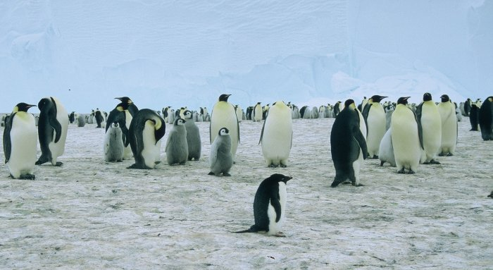 A rather lost looking Adelie amongst the colony of 5,000 Emperor penguins at Windy.