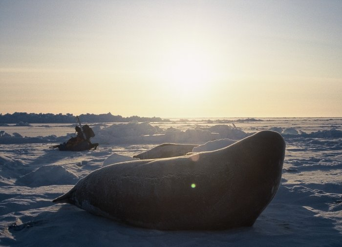 A Weddell seal looking out over the sea ice in the Weddell Sea at Halley in September.